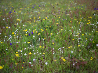 Wildflower Medley at Grassy Point, Hornby Island