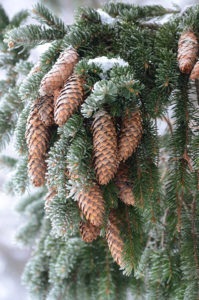 Cones of Picea abies