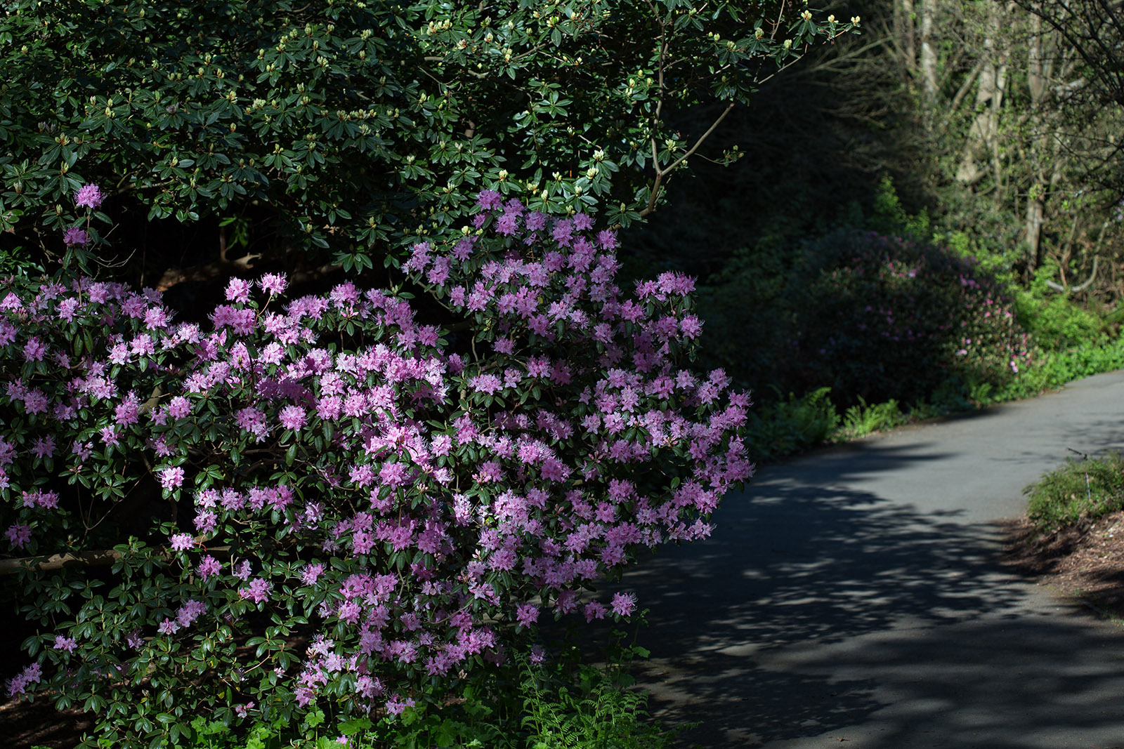 Rhododendron davidsonianum in UBC's David C. Lam Asian Garden