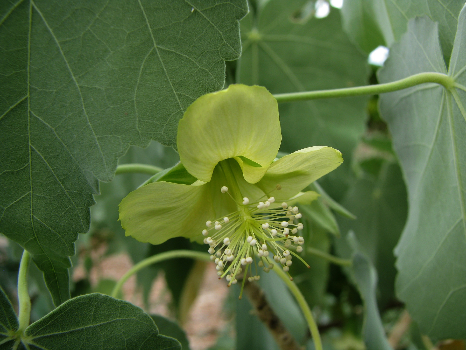 Abutilon menziesii flower close-up (blond-coloured selection)