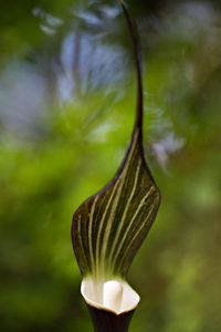 The spathe and spadix of Arisaema sikokianum