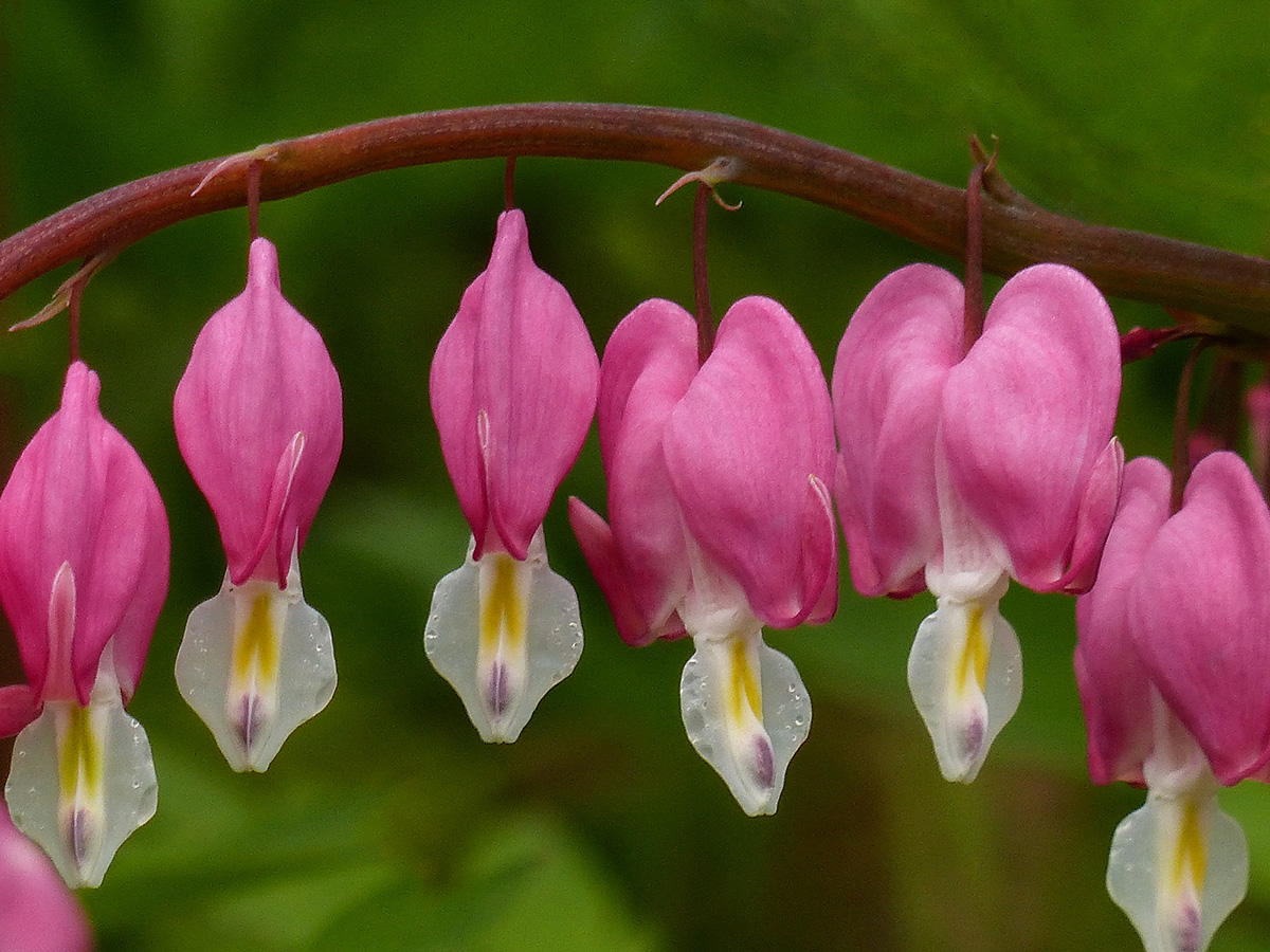 Close-up of Lamprocapnos spectabilis flowers