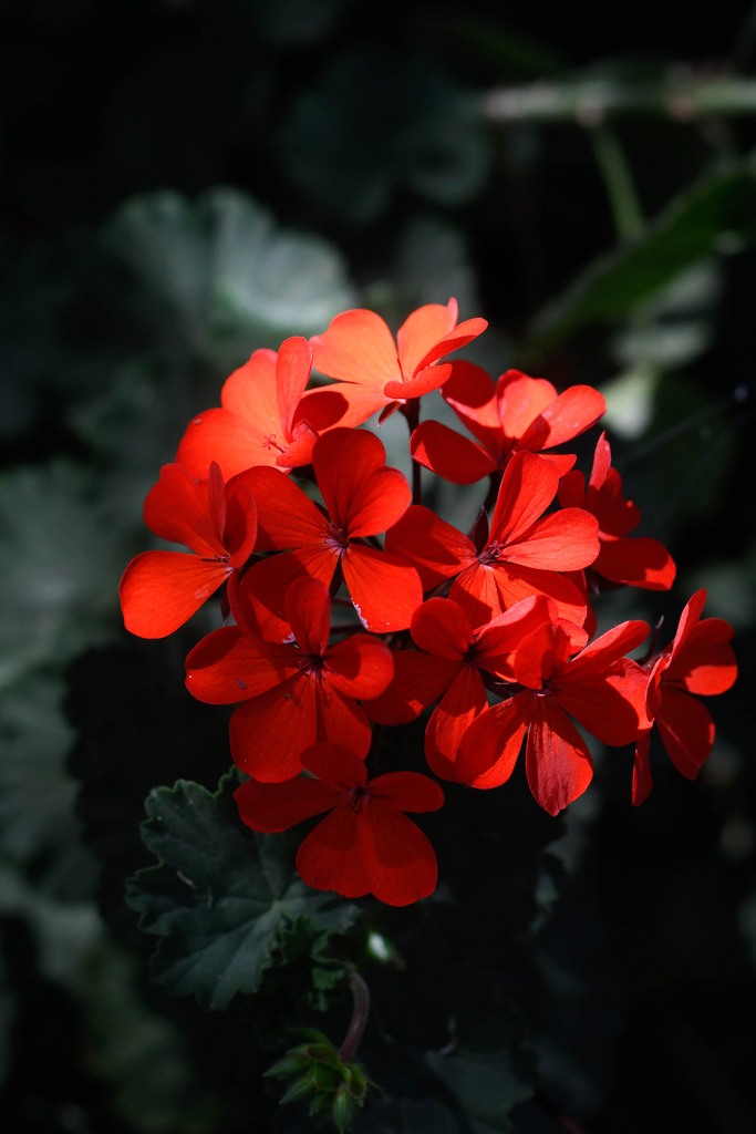 <i>Pelargonium</i> 'Stadt Bern' in flower