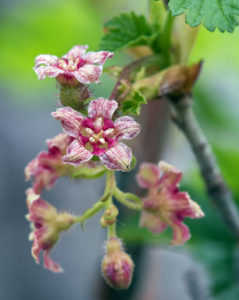 Close-up of the flowers of Ribes acerifolium