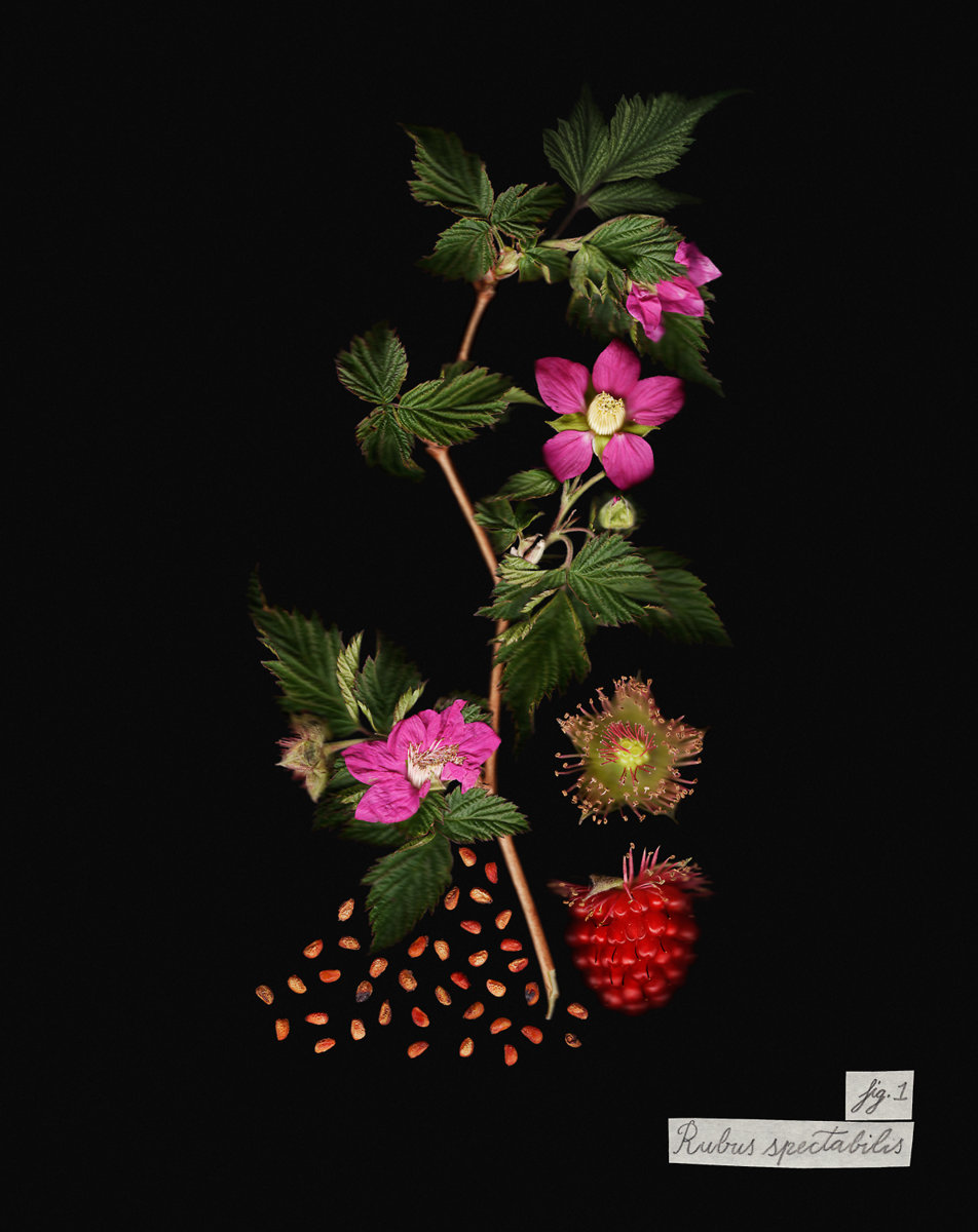 Rubus spectabilis flowers, fruits, seeds, and leaves