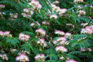 Flowers of Albizia julibrissin