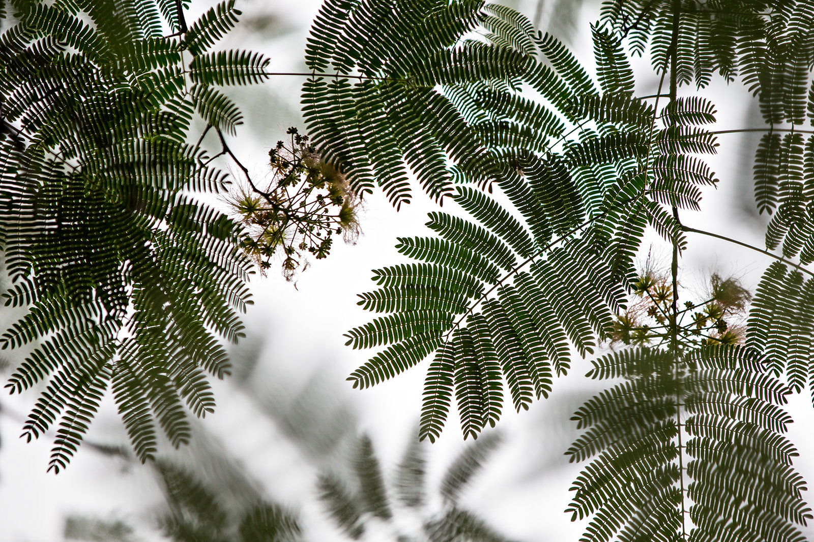 Looking up into the foliage of Albizia julibrissin