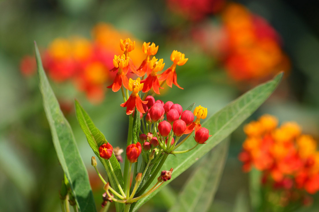 Flowers of <i>Asclepias curassavica</i> cultivated in New York