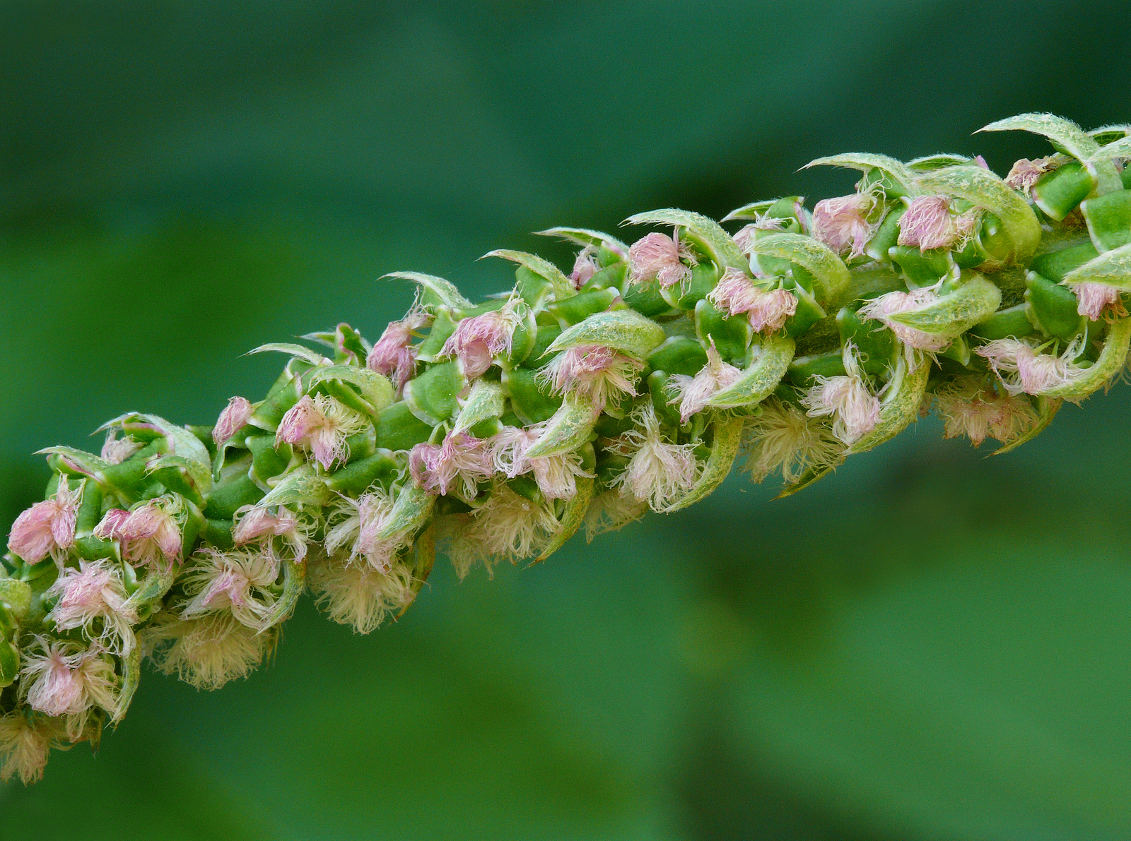 Staminate flowers of Bencomia sphaerocarpa