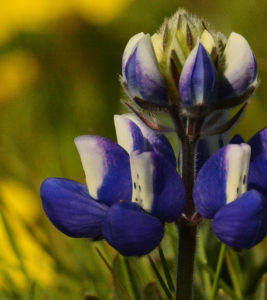 A close-up of Lupinus nanus