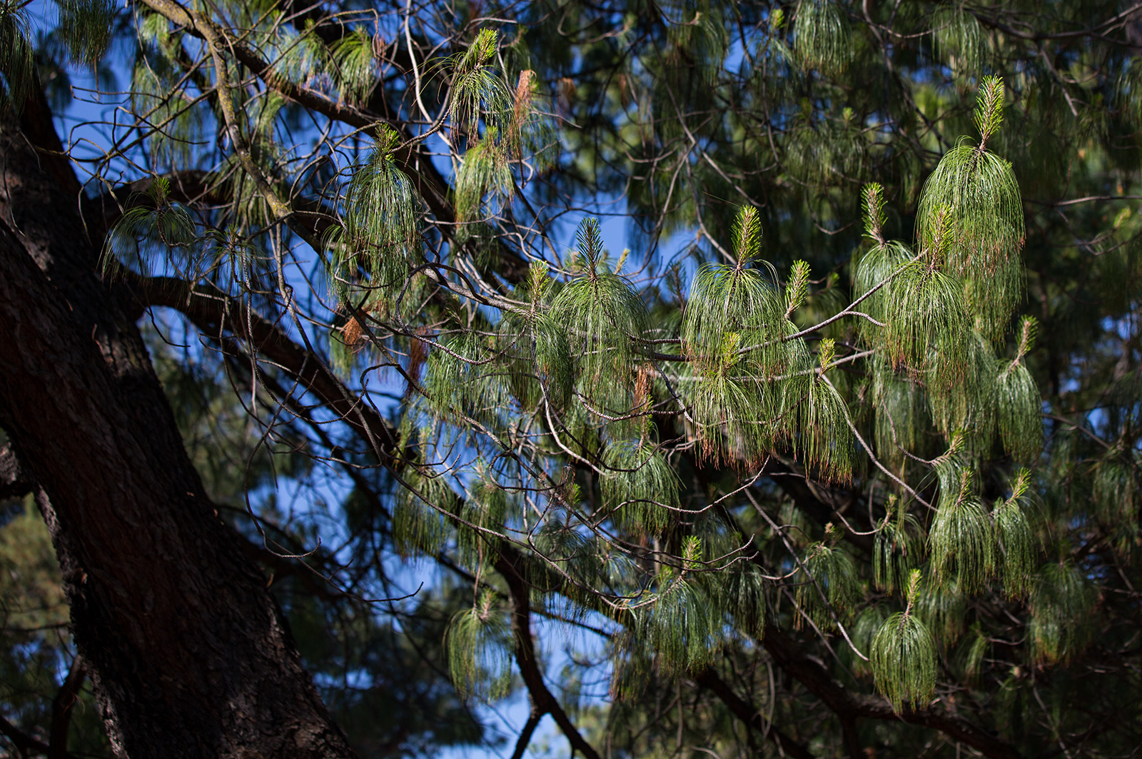 A branch of Pinus pseudostrobus var. apulcensis