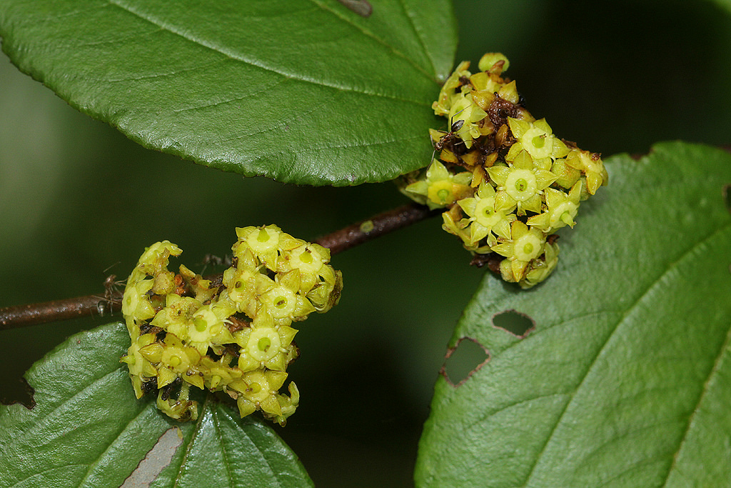 The flowers of Ziziphus abyssinica