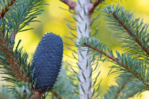 Ripe cone of Abies delavayi