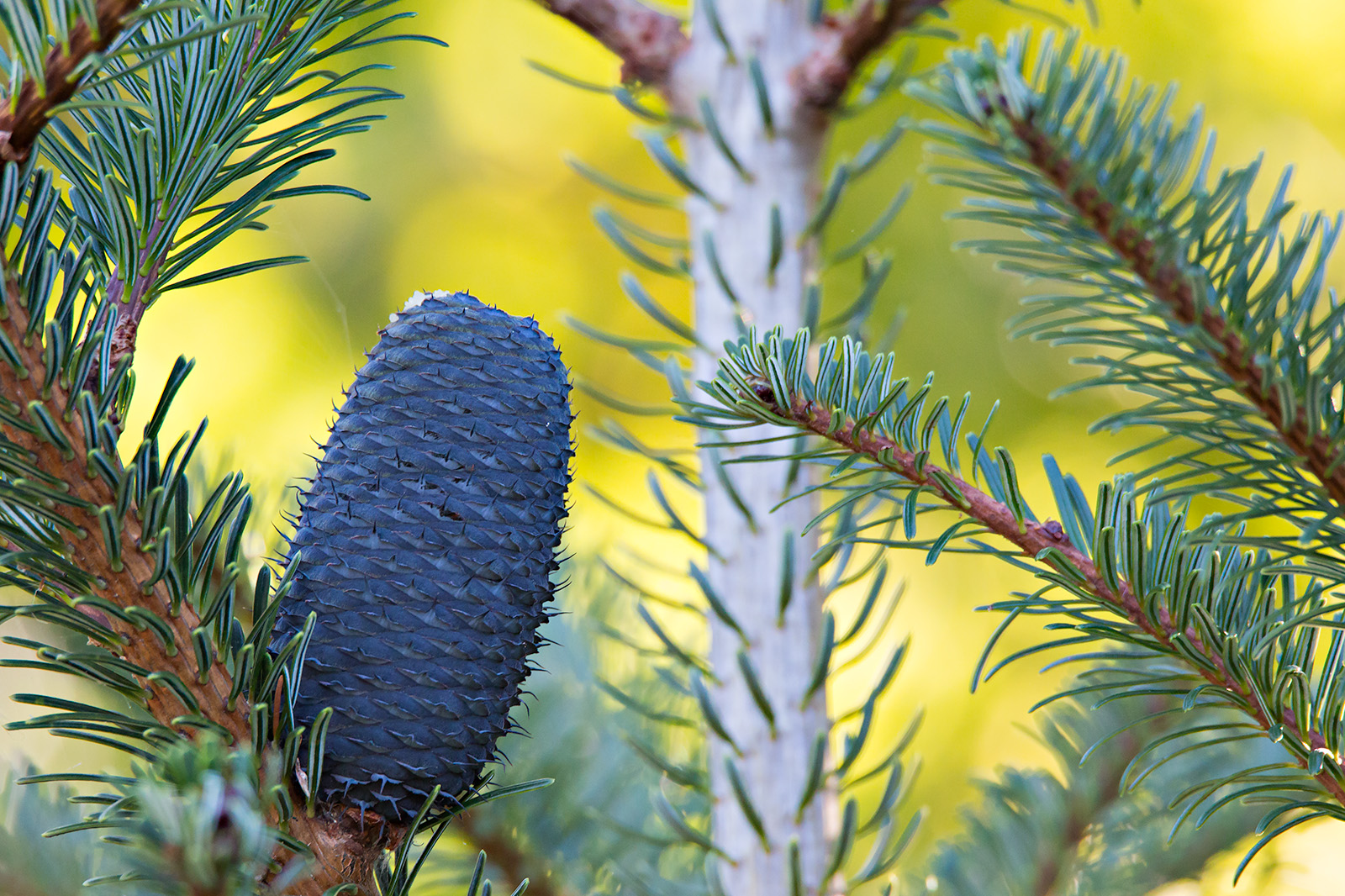 Ripe cone of <i>Abies delavayi</i>