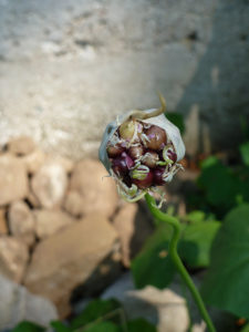 The bulbils of Allium sativum