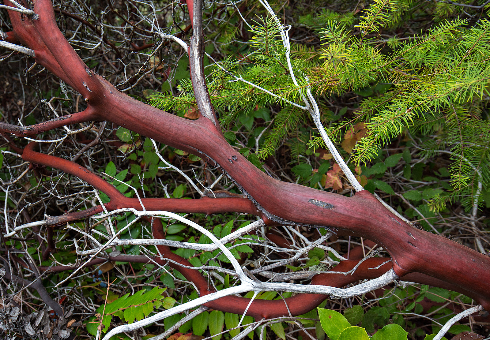 The woody stem of Arctostaphylos columbiana