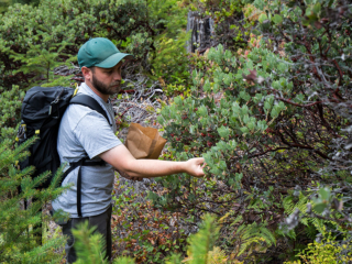 UBC Curator Ben Storms collecting the fruits of Arctostaphylos columbiana