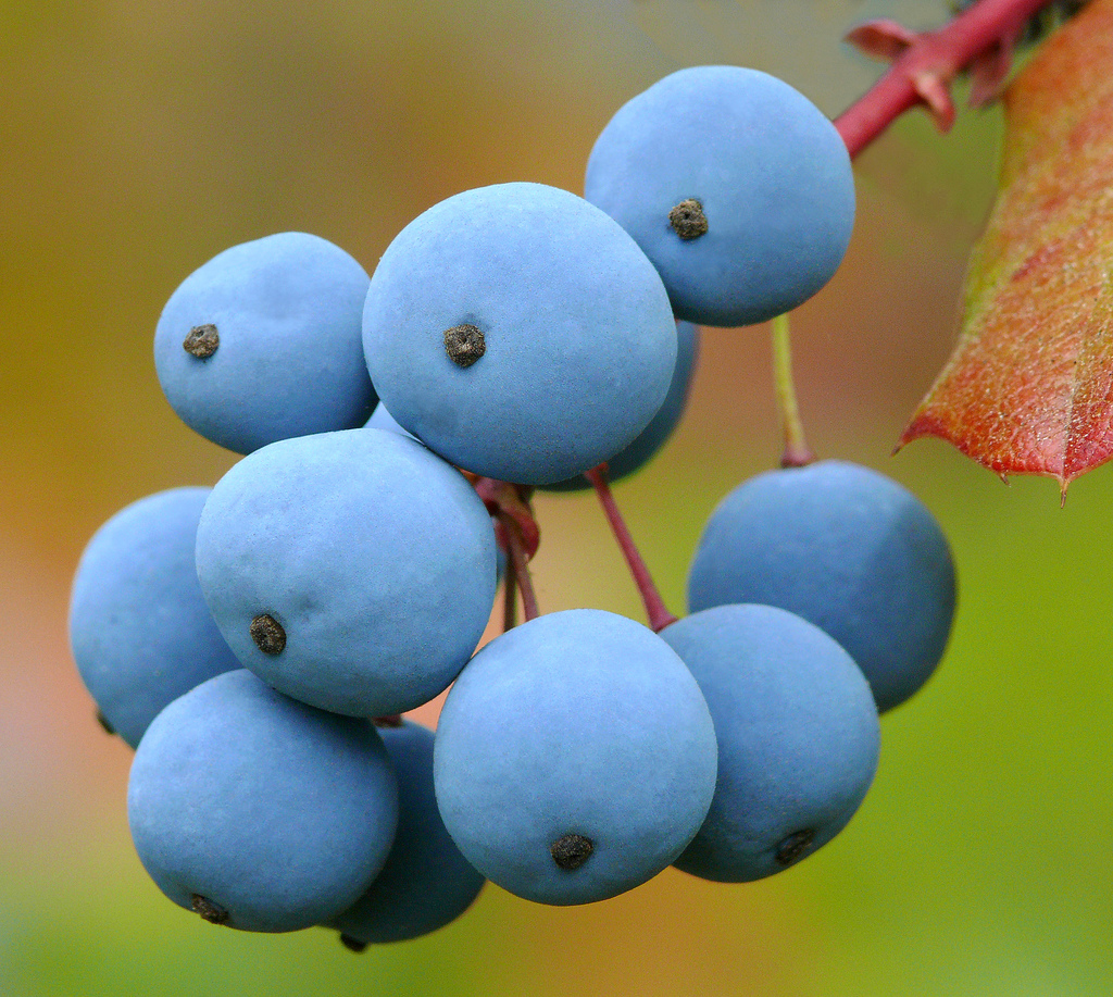 The fruits of <i>Berberis aquifolium</i>