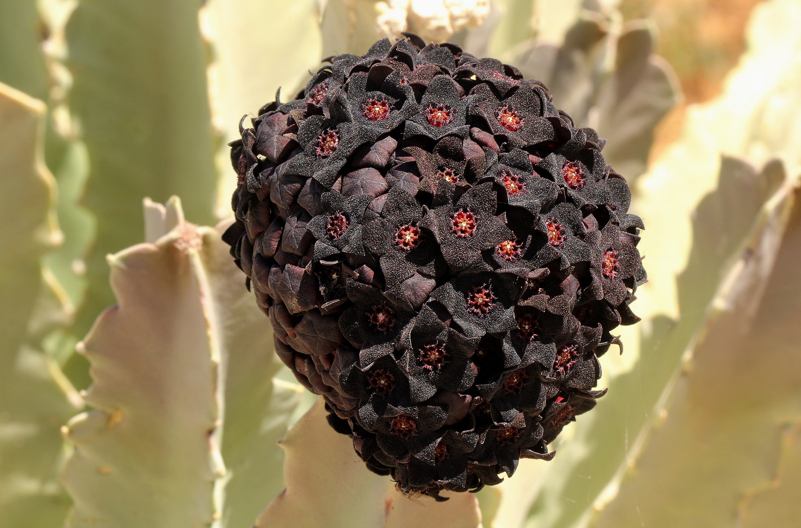 The inflorescence of Caralluma retrospiciens