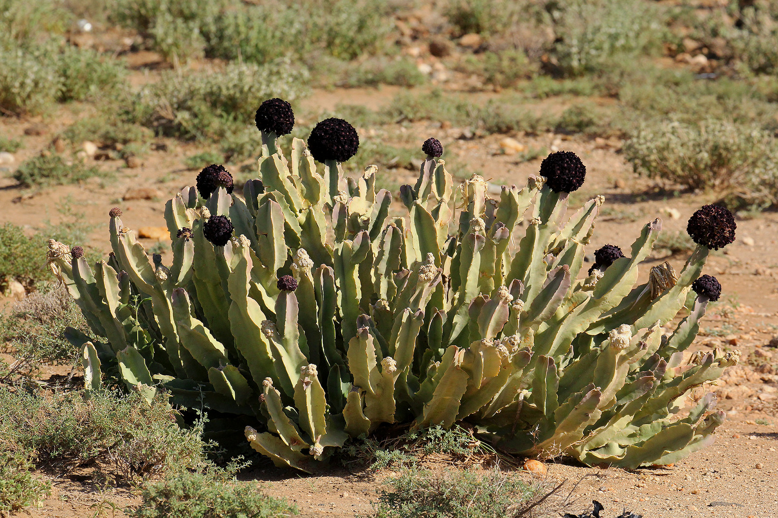Caralluma retrospiciens in habitat