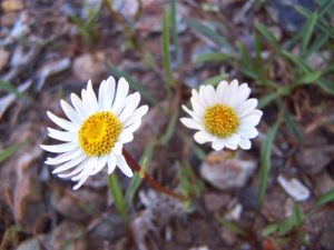 Erigeron stanselliae inflorescences