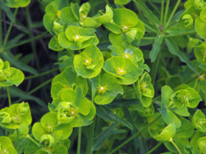 Flowering heads of Euphorbia esula