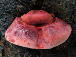 Fruiting body of Fistulina hepatica