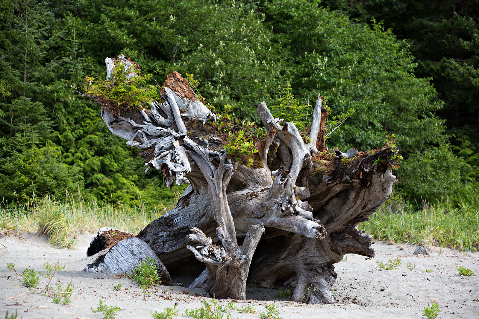 A natural stumpery in BC's Cape Scott Provincial Park
