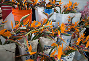 Strelitzia reginae, sold as cut flowers