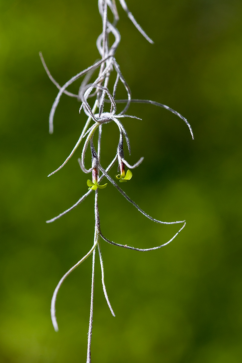 Flowers of Tillandsia usneoides
