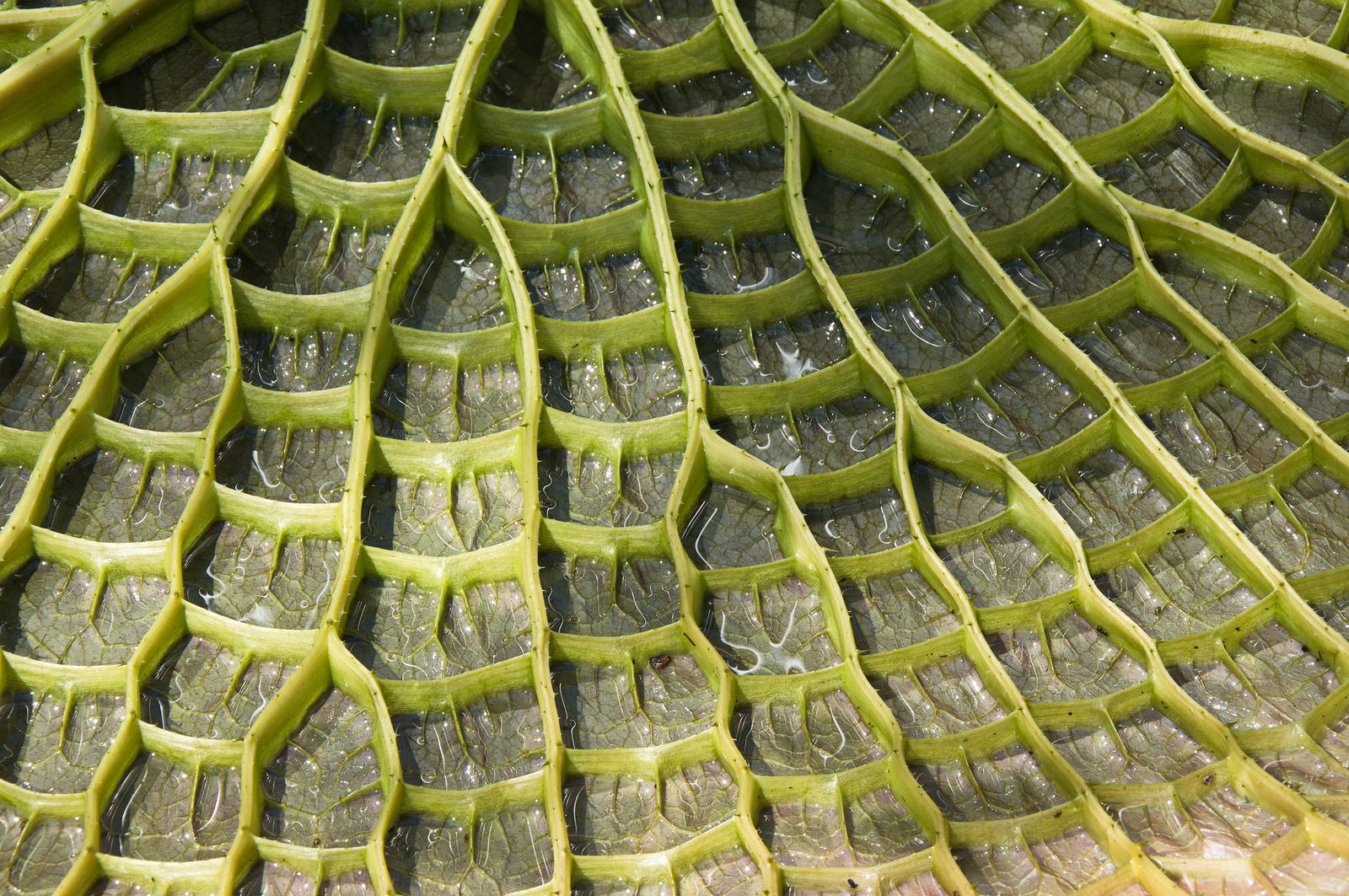 Details of the underside of a Victoria cruziana leaf