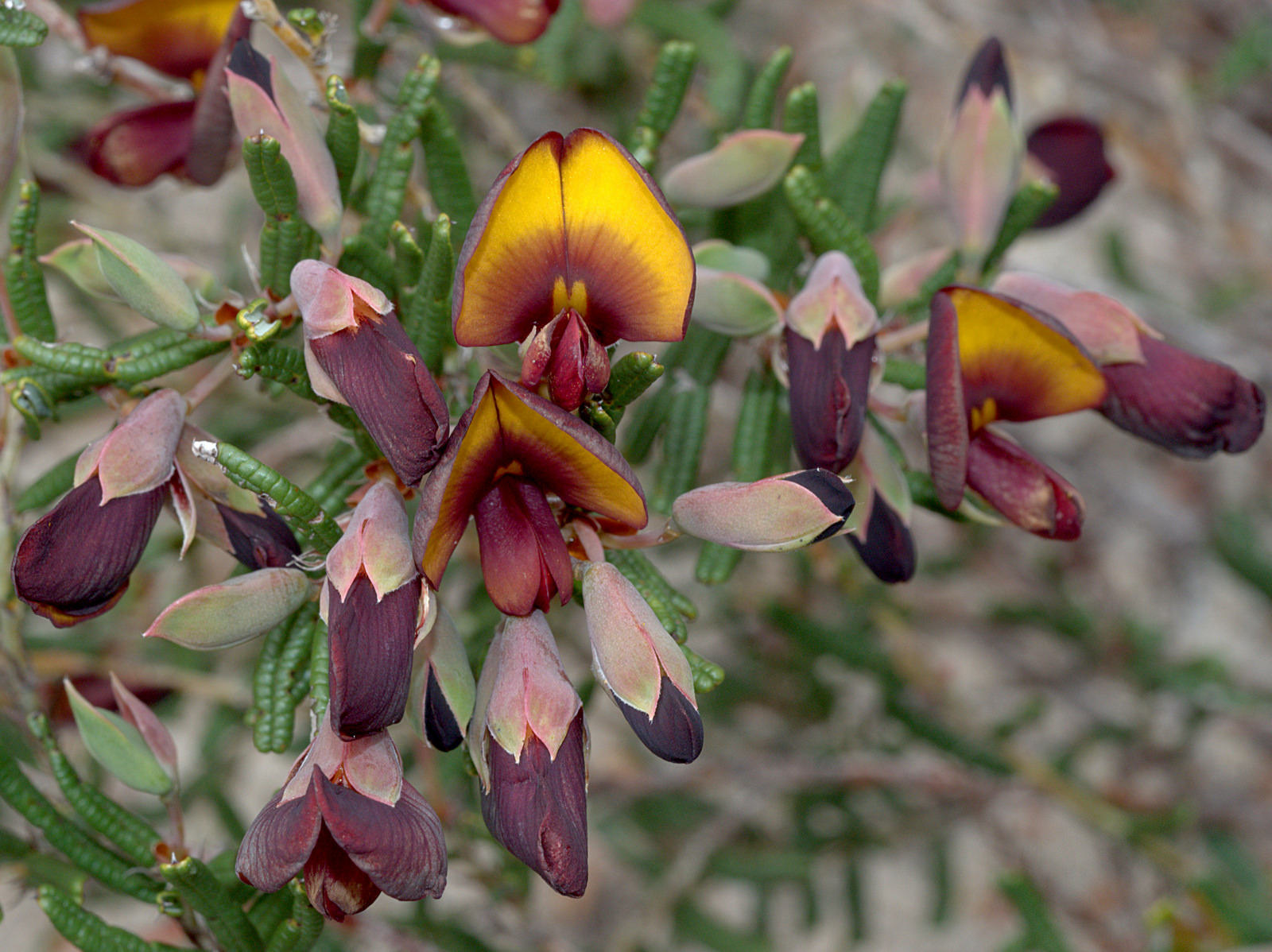 The flowers and flower buds of <i>Bossiaea eriocarpa</i>