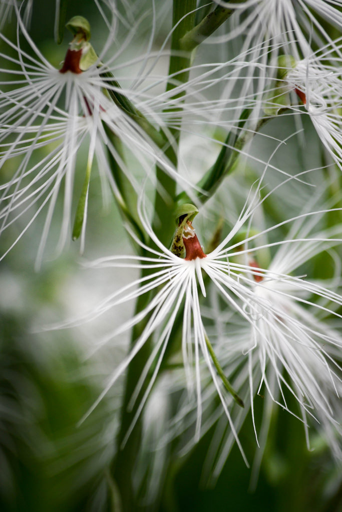 The fringed lip of the flowers of <i>Habenaria medusa</i>