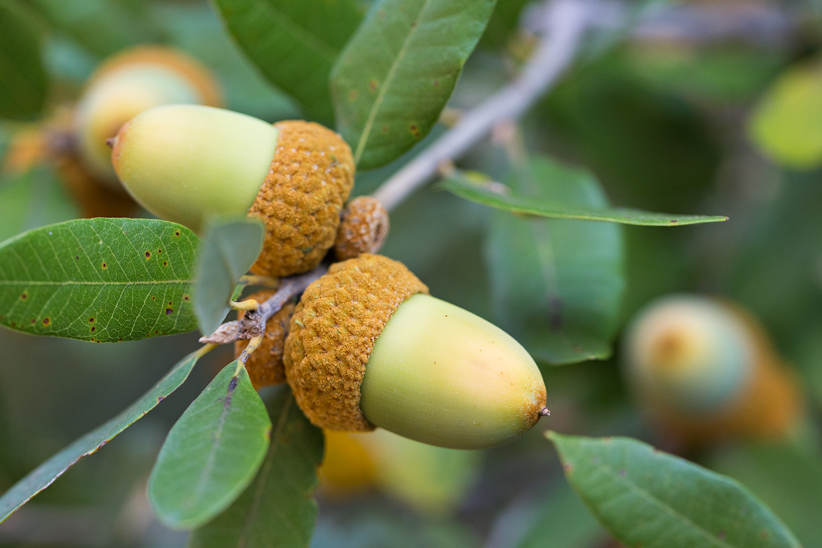 The acorn cupules of Quercus chrysolepis are covered in a gold felt