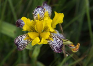 A top-down view of Iris variegata