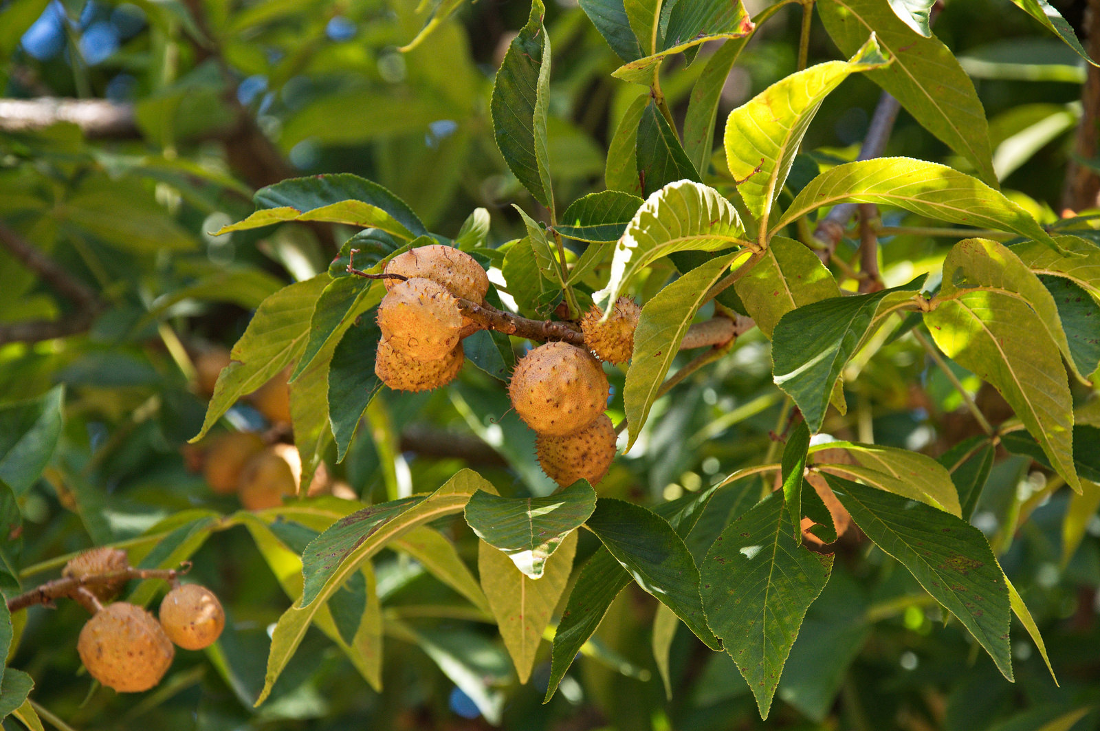 The fruits of <i>Aesculus glabra</i>