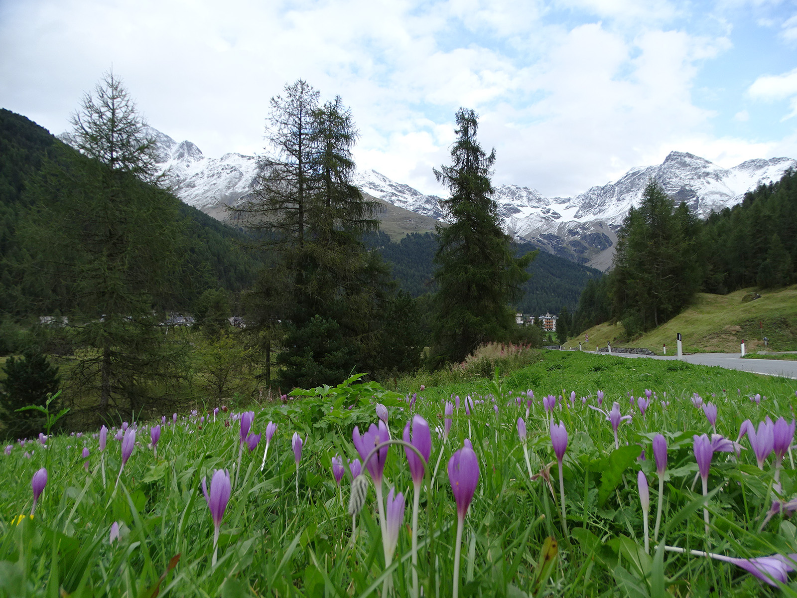Roadside swath of Colchicum autumnale