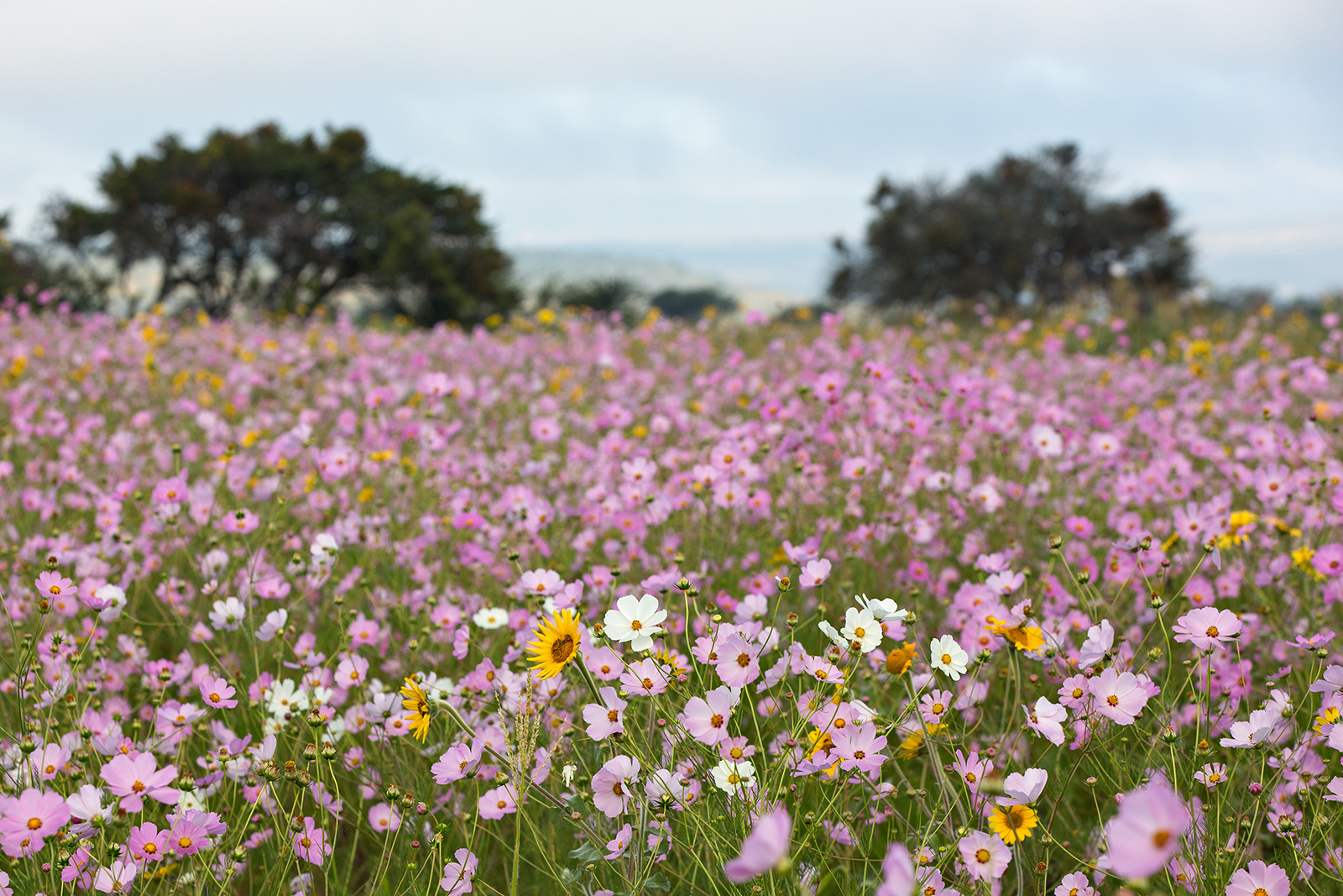 A field of <i>Cosmos bipinnatus</i>