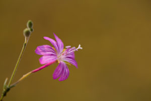 The uncommon Epilobium oreganum