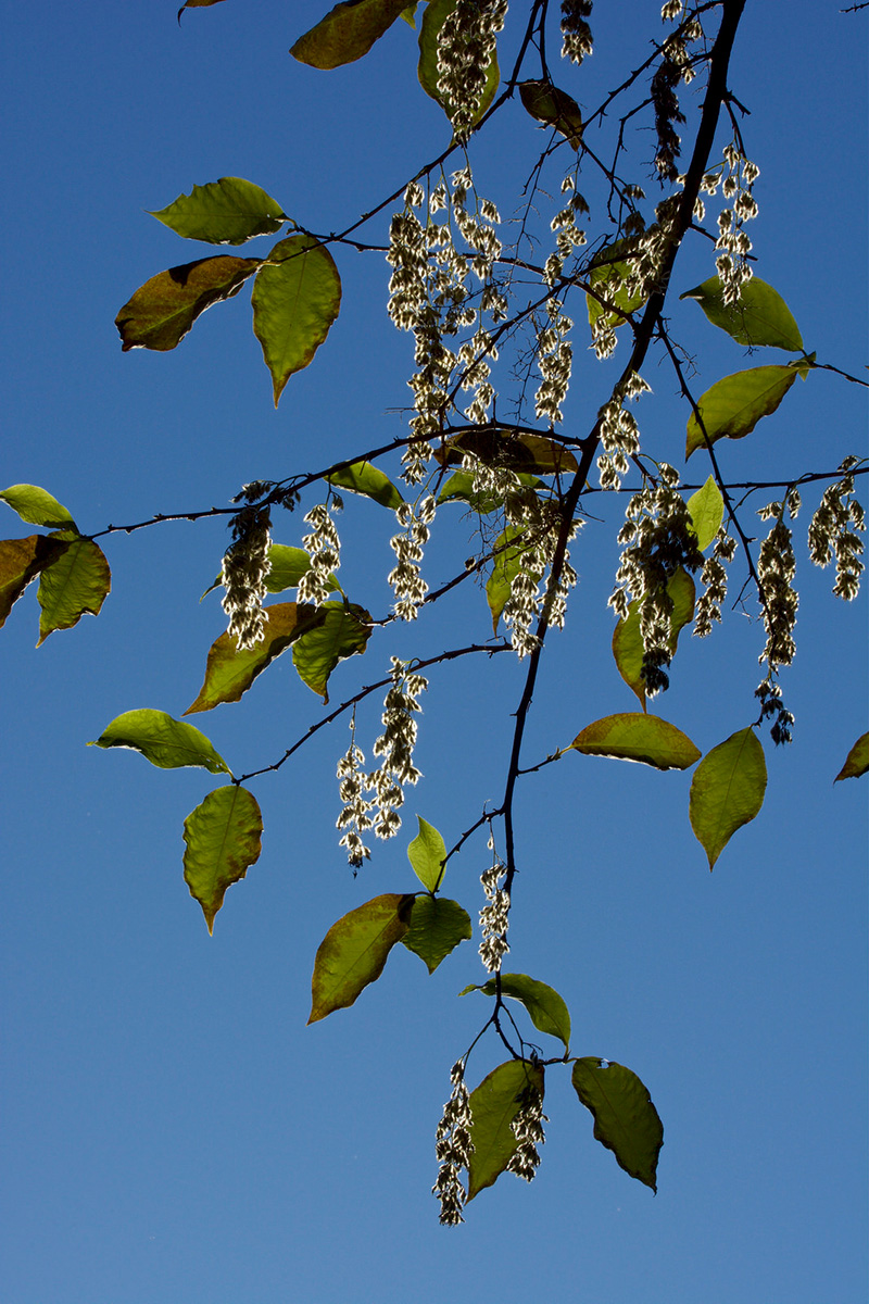 The fruits of <i>Pterostyrax hispidus</i>