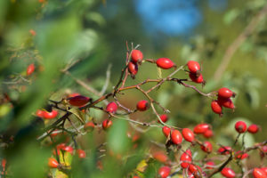 The fruits of Rosa canina