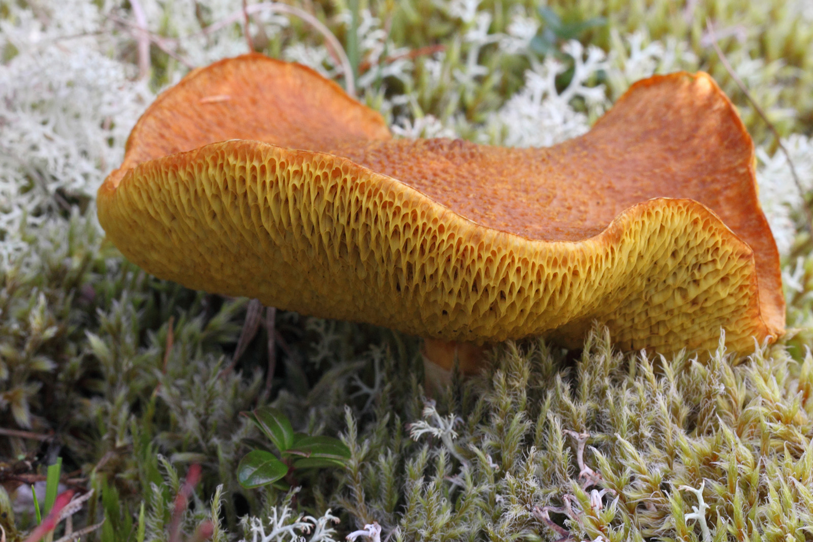 The fruiting body of <i>Suillus cavipes</i>