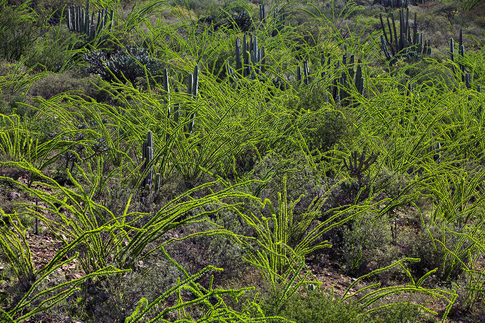 Glowing foliage of <i>Fouquieria splendens</i>