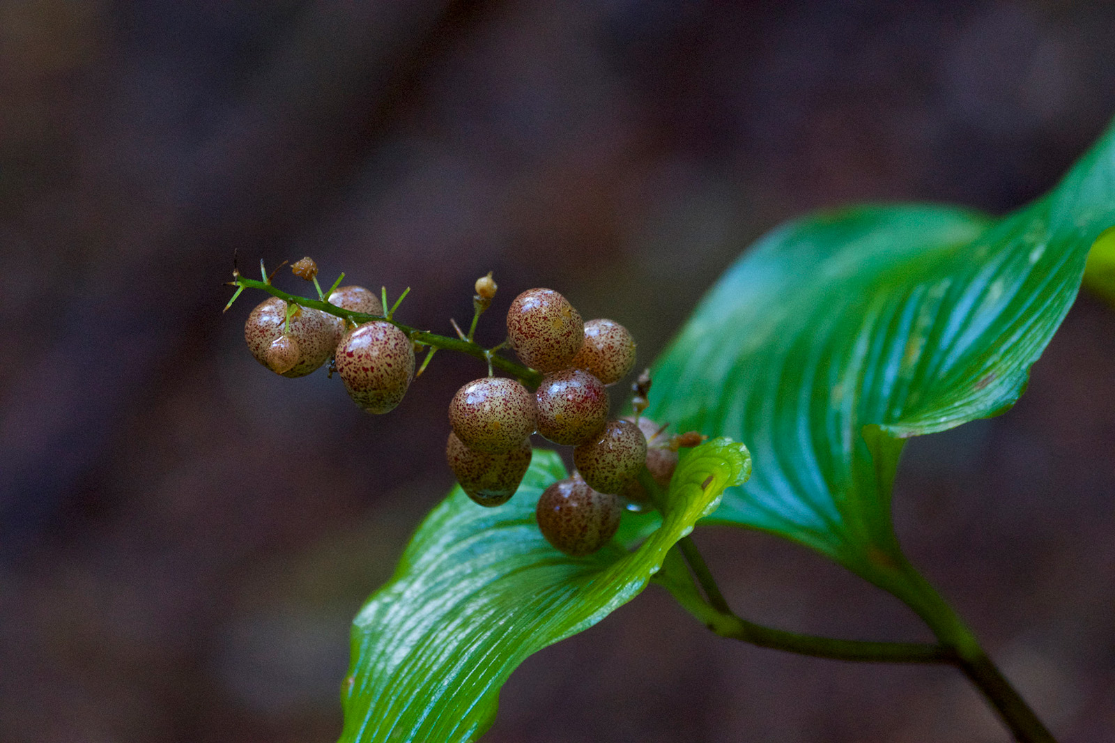 The fruit of Maianthemum dilatatum