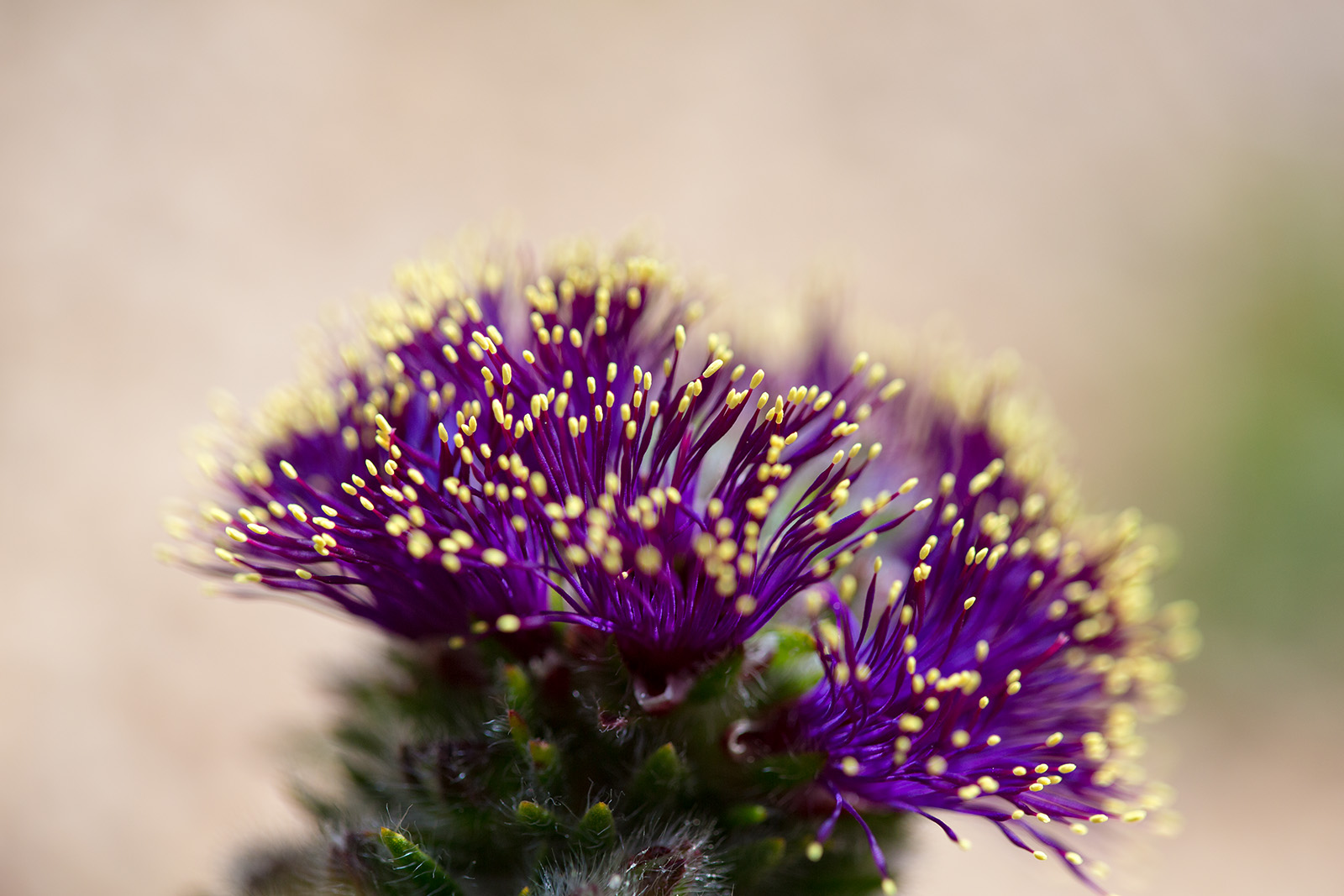 Close-up of Melaleuca hadra