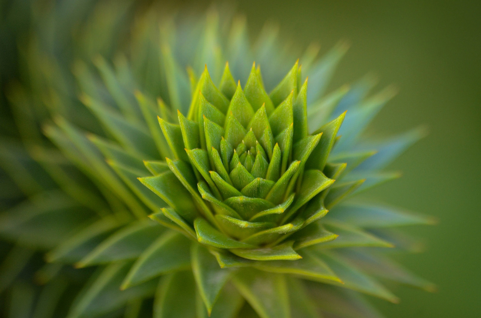 Close-up of the foliage of <i>Araucaria araucana</i>