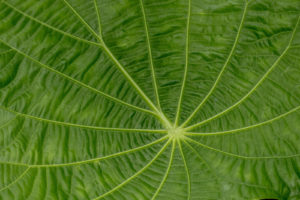 Close-up of the leaf of Begonia paulensis