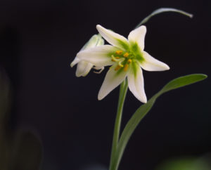 Flowers of Fritillaria liliacea