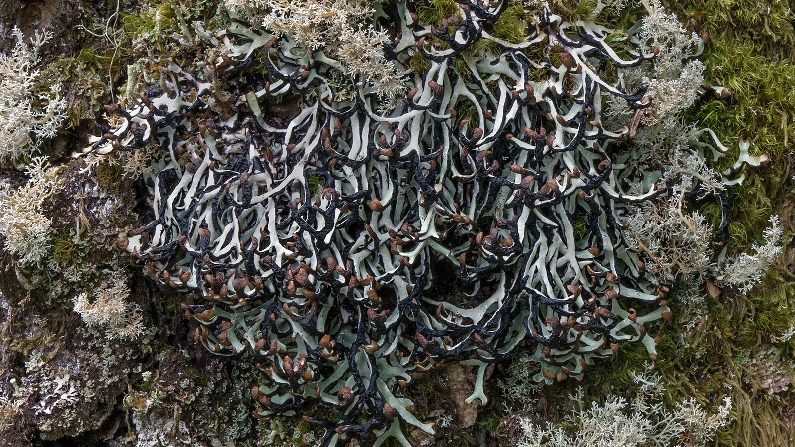Tickertape bone lichen