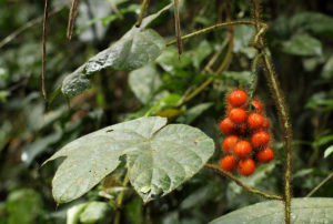 The fruits of Jateorhiza macrantha
